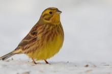 Uue äpi abil uuritakse talvikese laulu murdeid