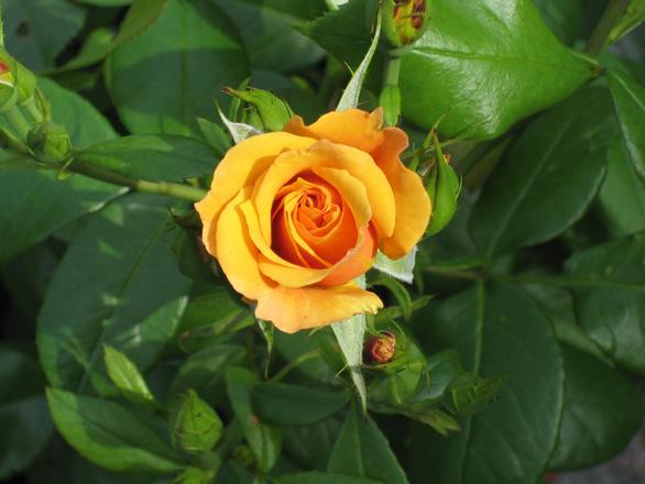 rose-1390711