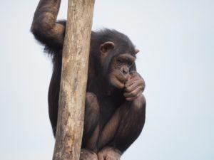 chimpanzee-830524_1280