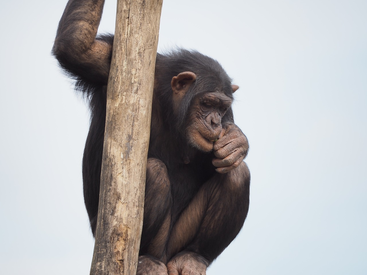 Vahva ettevõtmine! Fazer kingib loomaaia šimpansidele aastase šokolaadivaru